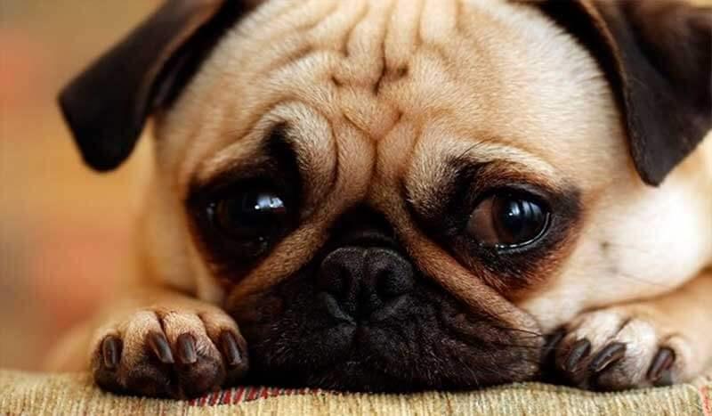 Tristeza permanente e comportamento atípico podem ser sintomas de depressão do animal.