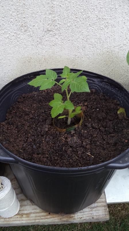 A terra precisa estar sempre fofa, aerada, úmida e fertilizada para plantar o tomate