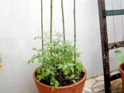 Estacas e gaiolas para sustentar o tomate no vaso