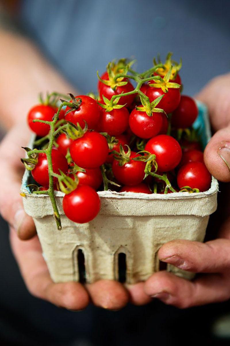 Tomate Cereja, utilizado para petiscos