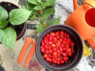 Pimenteiro de pimenta biquinho