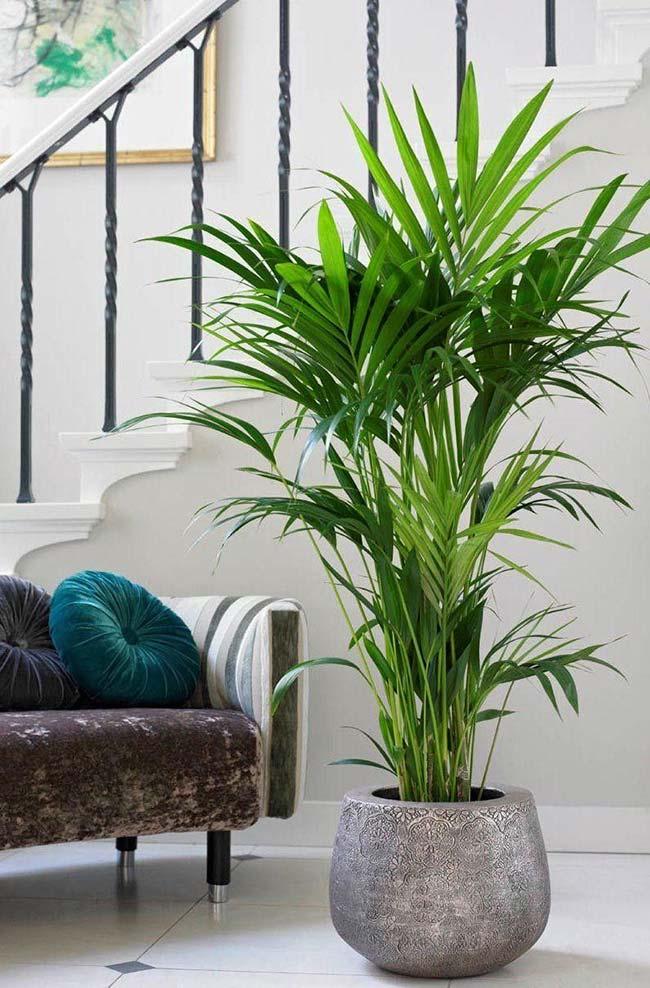 Plantas para ter dentro de casa: Rafis
