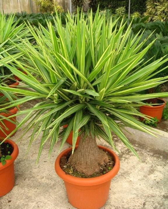 Yucca plantada em vaso