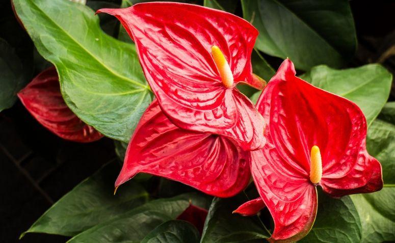 Plantas para ter dentro de casa: Antúrios Vermelhos