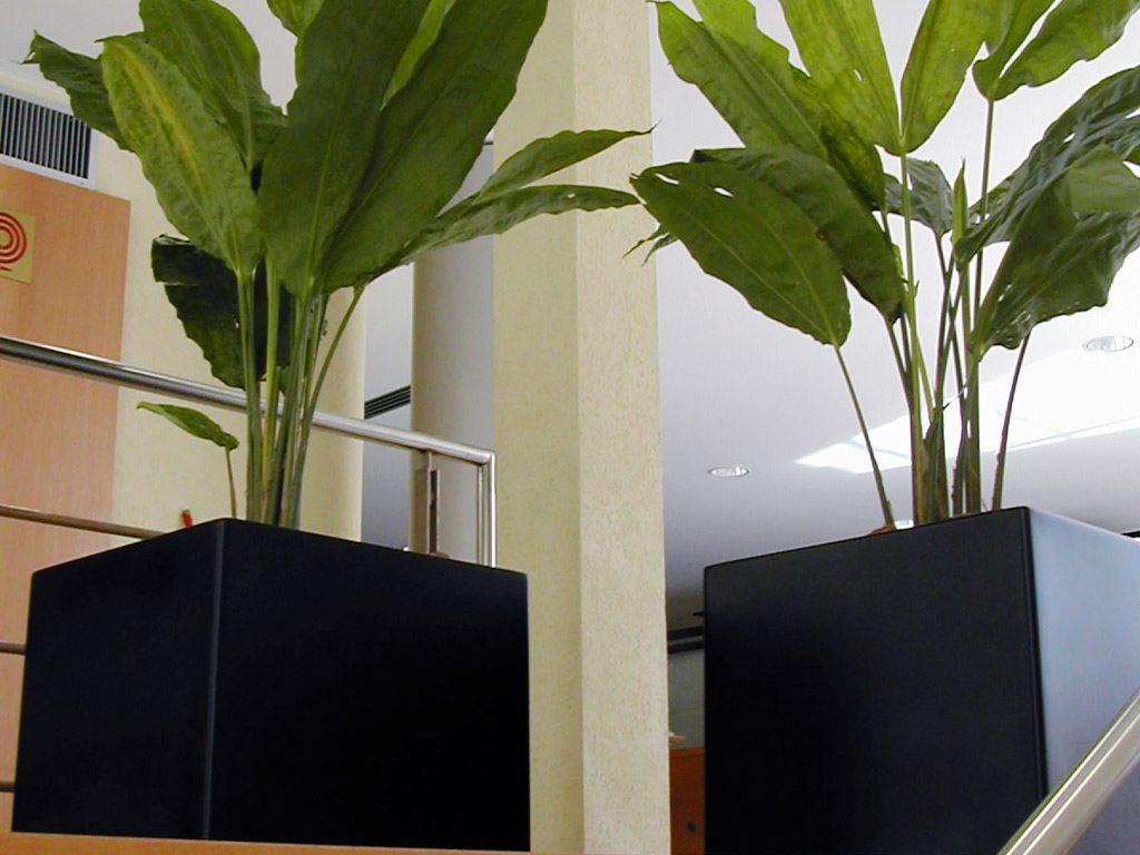 Plantas para ter dentro de casa: Ciclantos em vasos pretos